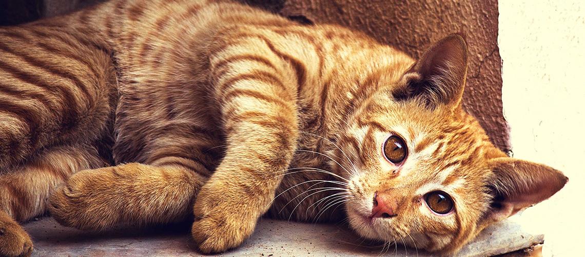 Feliway für Katzen